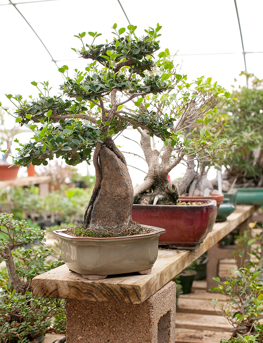 Bonsai Buckaroos St Louis Homes Lifestyles